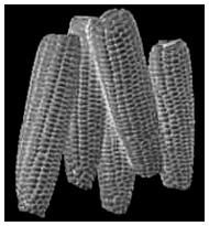 Corn Cob Mystery