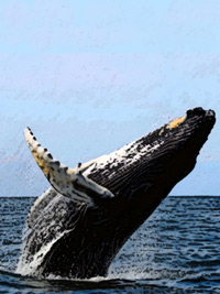 humpback in flight